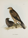 Birds of prey, Galapagos Islands, c 1832-1836.