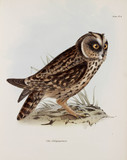 Owl, Galapagos Islands, c 1832-1836.