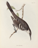 Mockingbird, Galapagos Islands, c 1832-1836.