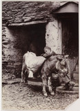 Young boy and an old donkey, c 1890