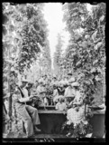 Hop picking, 31 August 1937.