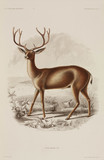 Stag mule deer, North America, 1838-1842.
