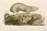 Blind mole-rat, Black Sea area, 1837.