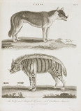 'The Wolf, and Striped Hyaena; and Cantharis Insects', 1800.