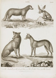 Foxes and jackal, 1800.