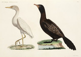 Cattle Egret and Long-tailed Cormorant, Egypt, 1798.