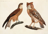 Black kite and owl, Egypt, 1798.