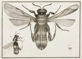 Magnified bee, 1787.