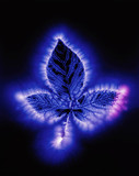 Kirlian photograph of a bramble leaf.