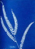 Cyanotype of a Ceylonese fern, 1853.