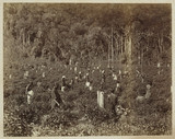Picking tea, Ceylon, c 1870.