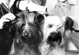 Skye terriers get ready for Crufts dog show, February 1983.