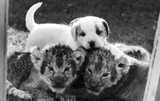 Lion cubs and puppy, October 1977.