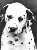Polly the dalmatian, April 1987.
