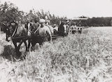 Harvesting wheat using horses, c 1930s.