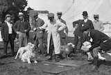 Dog being judged in an open-air dog show, c 1930s.