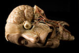 Anatomical model of a human head, Europe, 1801-1900.