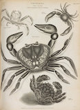 Full Page Illustration of crustaceans.