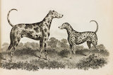 Close up illustration of a Great Dane and Dalmation dog.