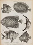 Illustrated with numerous engravings of Pleuronectes punctatus;Chaetodon imperator. C. marginatus. C. arcuatus. C. rostratus. C. Teria.