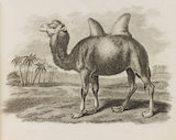 Close up Illustration of a Bactrian Camel.