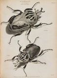 Full Page Image of Goliathus Coecius and G. magnus.