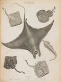 Full Page illustration of different types of Rays. Demon Ray; Thornback Ray; Undulated Ray; Electric Ray; Long Nosed Ray.