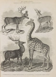 Full page of illustrations of Deer, Camelopardalis and Giraffe.