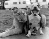 Lion cub and dog