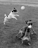 Dogs playing football