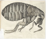 Plate XXIV from book: Micrographia, by Robert Hooke, 1665.