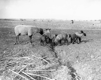 Sheep and lambs in a field at Kersey in Suffolk, 29 January 1934.