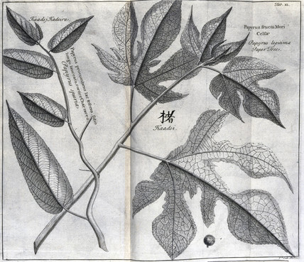 The paper mulberry, c 1690.