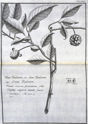 Plant used in paper making, c 1690.