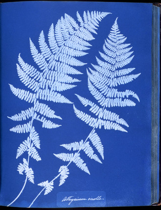 Cyanotype of British ferns, 1853.