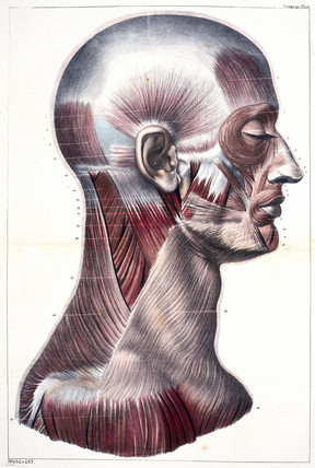 Muscles of the human head and neck, c 1859.
