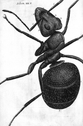 Ant, micrograph, 1664.