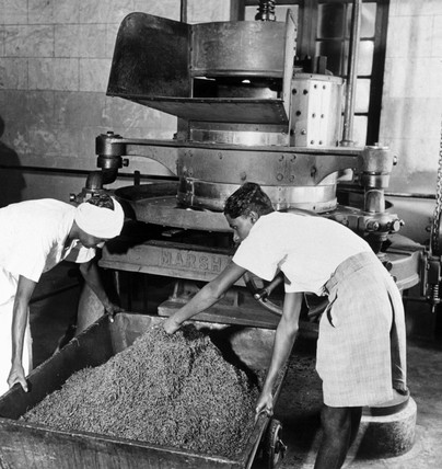 Workers removing tea from a roller, prior t
