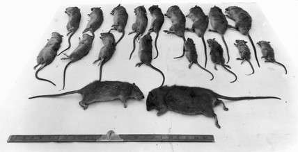 Rats killed at Paddington Station, London, 9 November 1921.