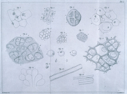 Plant and animal cells, 1839.