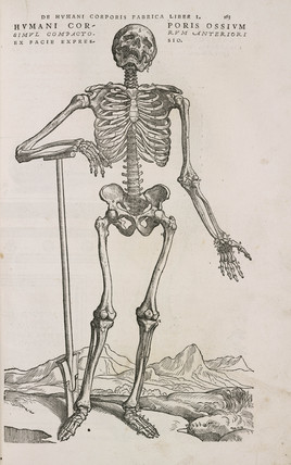 A human articulated skeleton seen from the front, 1543.