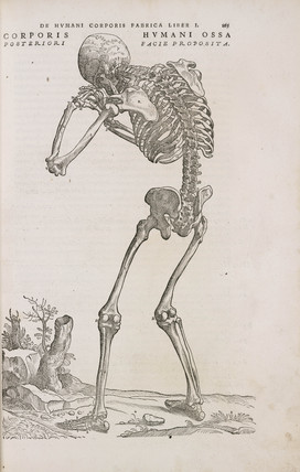 A human articulated skeleton seen from the back, 1543.