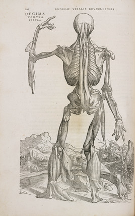 Rear view of the spinal muscles of the male human body, 1543.