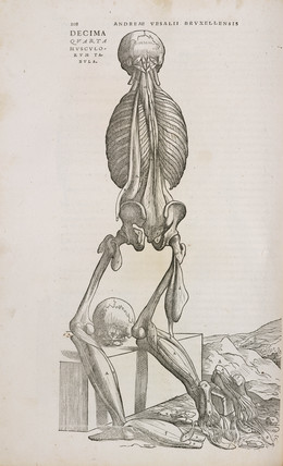 Rear view of the deeper muscles and bones of the male human body, 1543.