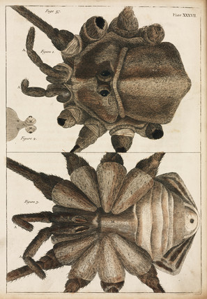 Detail of a spider's body, 1736.