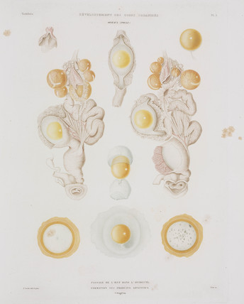Chicken egg in the oviduct, c 1847-1859.