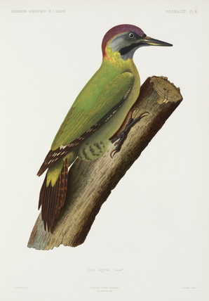 Woodpecker, Algeria, 1840-1842.