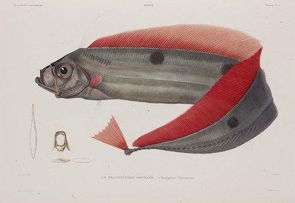 Type of ribbonfish, Iceland, early 19th century.