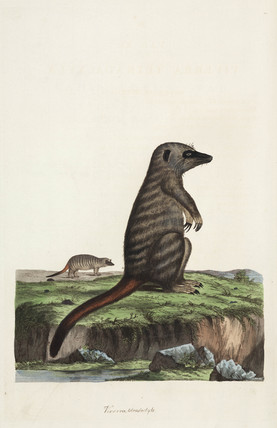 Mongoose or meerkat, 1776.