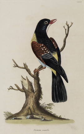 Bird of the Coraciidae family, 1776.